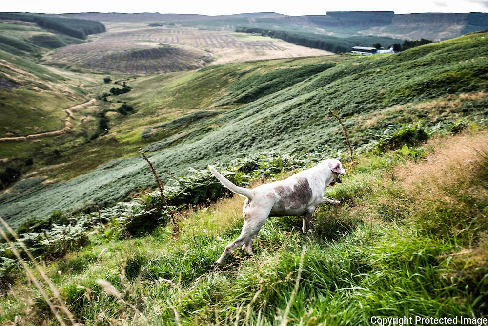 Wooplaw, Jedburgh, Scottish Borders, UK. 1st September 2016. Garlic. A foxhound hunts near the Anglo Scot Border in a bed of autumn bracken in Jedforest hill country.