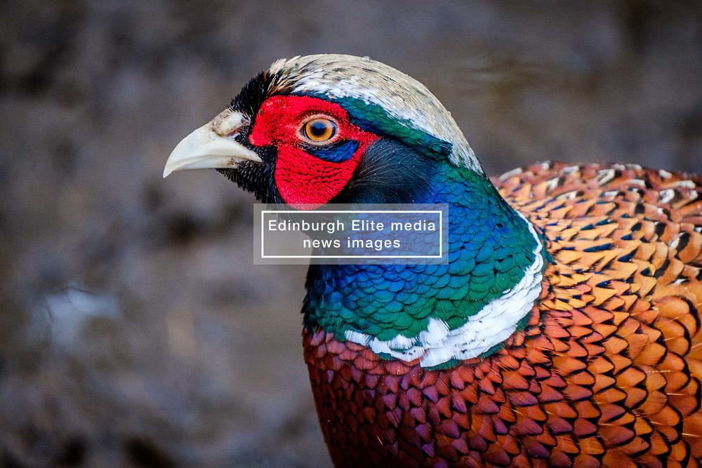 Male pheasant (Phasianus colchicus) in South Lanarkshire, Scotland<br /> <br /> (c) Andrew Wilson | Edinburgh Elite media