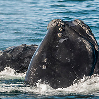 A group of North Atlantic Right Whales ( Eubalaena glacialis) engage in courtship behaviour in the Bay of Fundy, Canada, September, 2011.