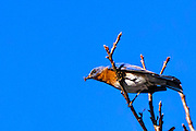 Eastern Bluebird - Sialia sialis sitting on a limb with a bright blue background