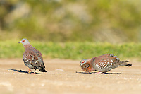 Speckled Pigeon male displaying to a female on the ground and with chest fluffed out, De Hoop Nature Reserve, Western Cape, South Africa
