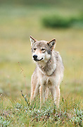 Alaska. Denali National Park. Highway Pass. Female wolf hunting. Canis lupis.