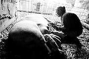 Lurene tries to graft a female two-day-old piglet that wasn't feeding from her mom. A new mom produces milk with colostrum in it, so she wanted the piglet to get that important milk. Colostrum contains antibodies to protect the newborn against disease, as well as being higher in fat and protein than ordinary milk.