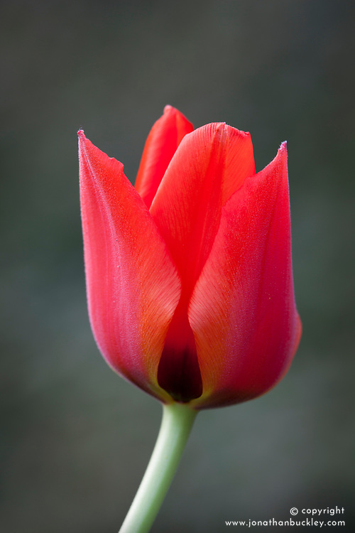 Tulipa 'Queen Ingrid'