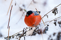 Bullfinch in snow. Stavanger, Norway.