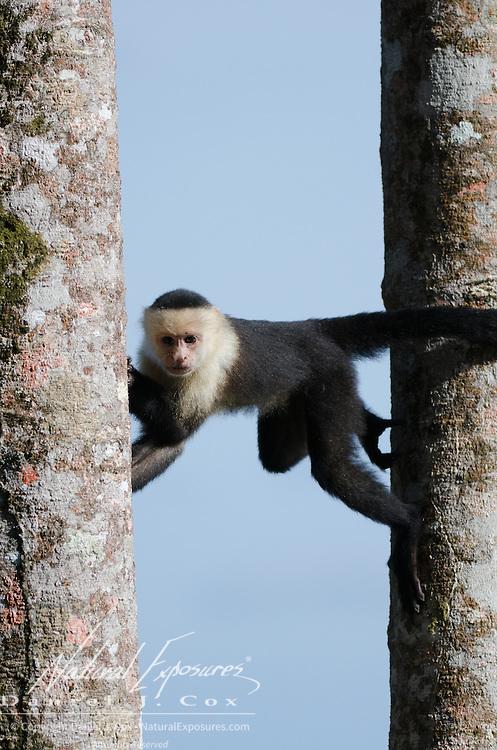 Capuchin Monkey (Cebus capucinus in a tree. Costa Rica