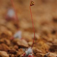 A pygmy sundew (Drosera eneabba) growing in rocky lateritic soil of Mount Lesueur National Park in Western Australia.