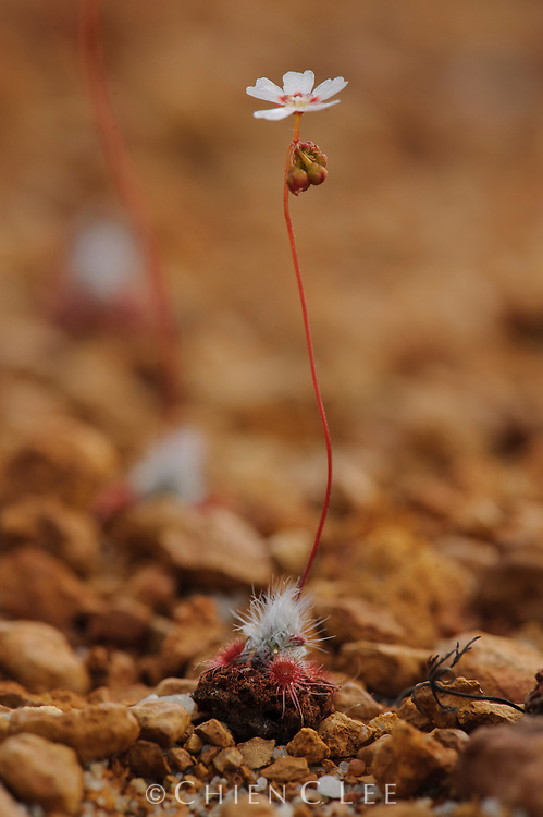 A pygmy sundew (Drosera eneabba) growing in rocky lateritic soil of Mount Lesueur National Park in Western Australia.