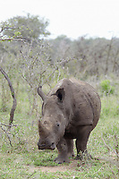 Rhinoceros walks in African plains