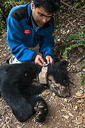 Spectacled or Andean Bear (Tremarctos ornatus)<br /> Cloud Forest and Paramo Habitat<br /> Andes. ECUADOR.  South America<br /> Range: Colombia south to Bolivia<br /> ENDANGERED (CITES 1)<br /> Armando Cateillanos attaching the radio collar.