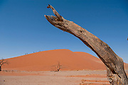 Dead Vlei, with desiccated 900 year old trees standing in the salt pan surrounded by towering red sand dunes. Namib-Naukluft National Park, Namibia.
