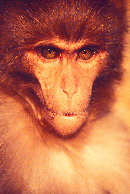 A distinguished but intense looking rhesus monkey at Swyambhumath, Nepal's Monkey Temple, atop a hill overlooking the city of Kathmandu and its lush, surrounding valley. A troop of perhaps 300 semi-wild, semi-tame temple monkeys live on the hill, subsisting mostly on the small food offerings people leave on Buddhist and Hindu altars there. The sacred monkeys -- who are the size of smallish dogs  --  are also not above stealing food right out of the hands of unwary pilgrims. Many generous visitors will, however, voluntarily feed the monkeys, similar to the way people in the West might feed pigeons in the park.