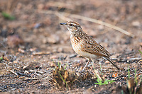 Rufous Naped Lark, Pilanesberg National Park, North West, South Africa