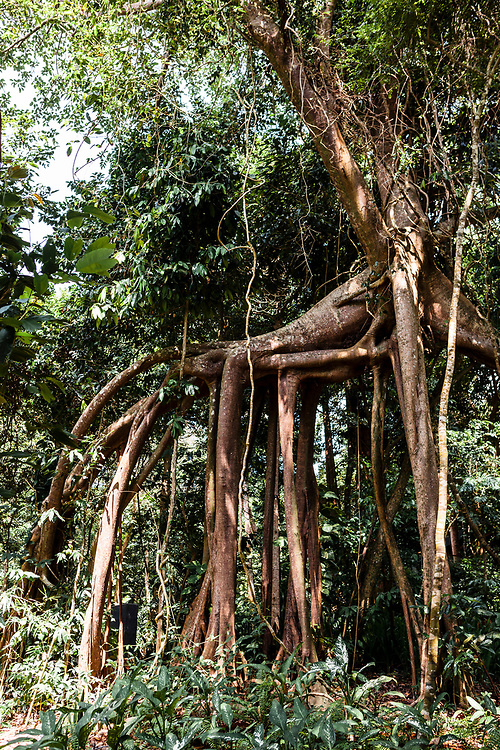 "Roots of giant banyan tree ""walking"" in the jungle"