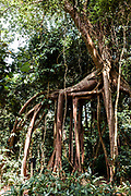 """Roots of giant banyan tree """"walking"""" in the jungle"""
