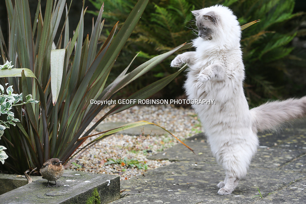 PIC BY GEOFF ROBINSON PHOTOGRAPHY 07976 880732.<br /> <br /> PIC DATED JUNE 4TH 2014 SHOWS RUGGLES,BRITAINS SOFTEST CAT,  FAILING IN HIS ATTEMPT TO CATCH A BABY BLACKBIRD IN A CAMBRIDGE GARDEN.HE HAS SINCE FAILED IN HIS ATTEMPT TO CATCH A FROG.<br /> <br /> Britain's SOFTEST cat has tried to catch a FROG - but ended up KISSING it instead.<br /> <br /> Ruggles the pet cat attempted to pounce on the reptile when he spotted it in the garden.<br /> <br /> But instead of capturing the little amphibian he gave it a stroke and a big kiss.<br /> <br /> It is not the first time the seven-year-old Ragdoll has failed to catch his prey and he has now earned a reputation as the UK's biggest scaredy cat.<br /> <br /> Just last week he failed to catch a baby blackbird in a scene reminiscent of Loony Tunes' Sylvester and Tweety Pie.<br /> <br /> SEE COPY CATCHLINE Britain's SOFTEST cat kisses frog