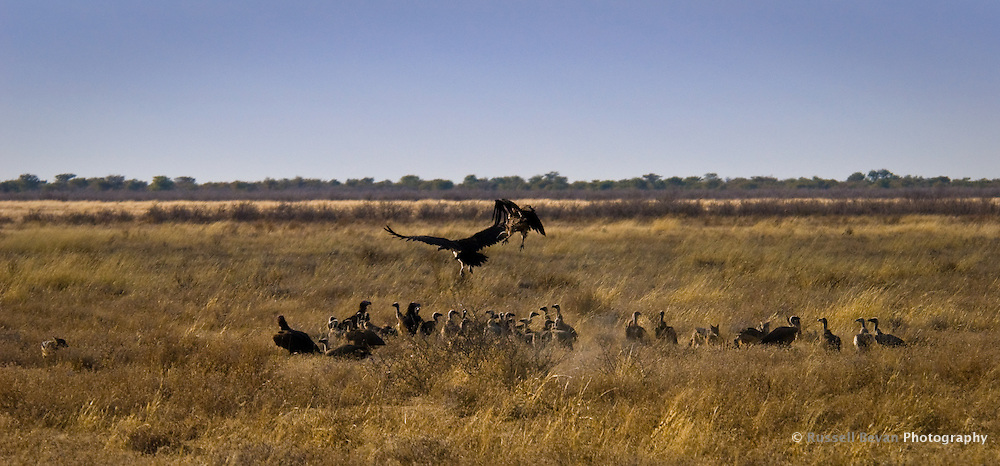 A Committee of Vultures at a kill in Etosha National Park, Namibia