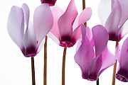 backlit violet petals (Cyclamen) on a lightbox