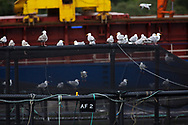Seagulls sitting on cages at a salmon farm on the west coast of Scotland.<br /> <br /> Photograph © Colin McPherson, 2019 all rights reserved