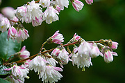 Closeup of a pink garden flower