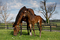 Madame Du Lac with her Orb filly.<br /> Hinkle Farm is home to top stakes producing mares including Derby 142 favorite Nyquist and 2016 Ashland Stakes Weep No More, Friday, April 15, 2016.