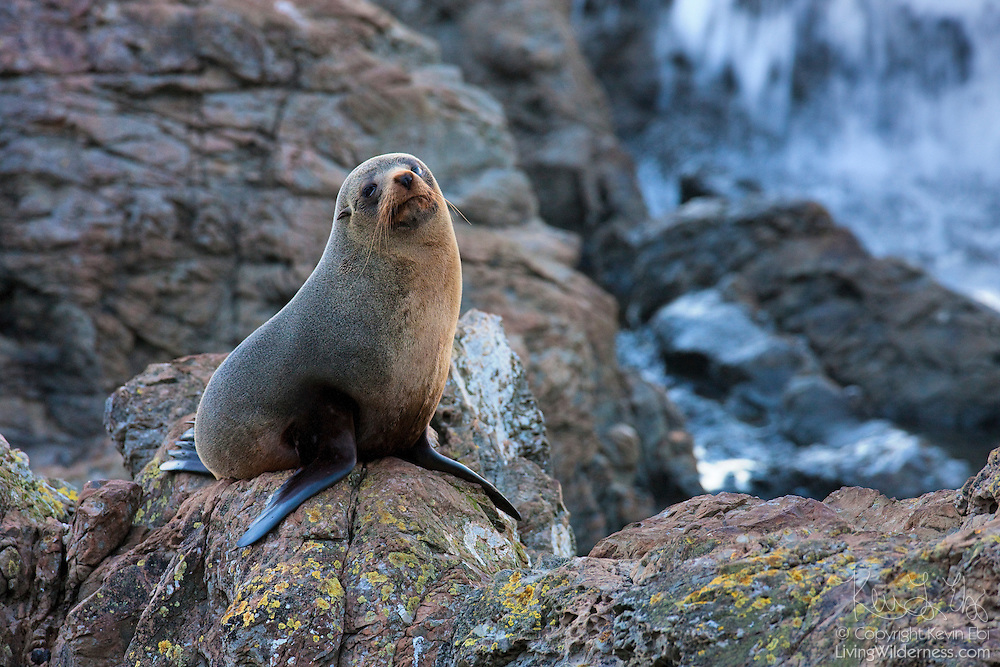 A New Zealand fur seal (Arctocephalus forsteri) rests on a rocky cliff near Kaikoura, New Zealand.