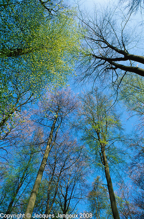 View toward canopy of beech trees in early spring at Forêt de Soignes near Brussels, Belgium. The Forêt de Soignes has been a managed forest for many centuries. It was planted with beech trees by Austrian gardener Zinner under Austrian Emperor Joseph II.