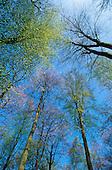 Temperate vegetation: Europe: beech trees in Belgium