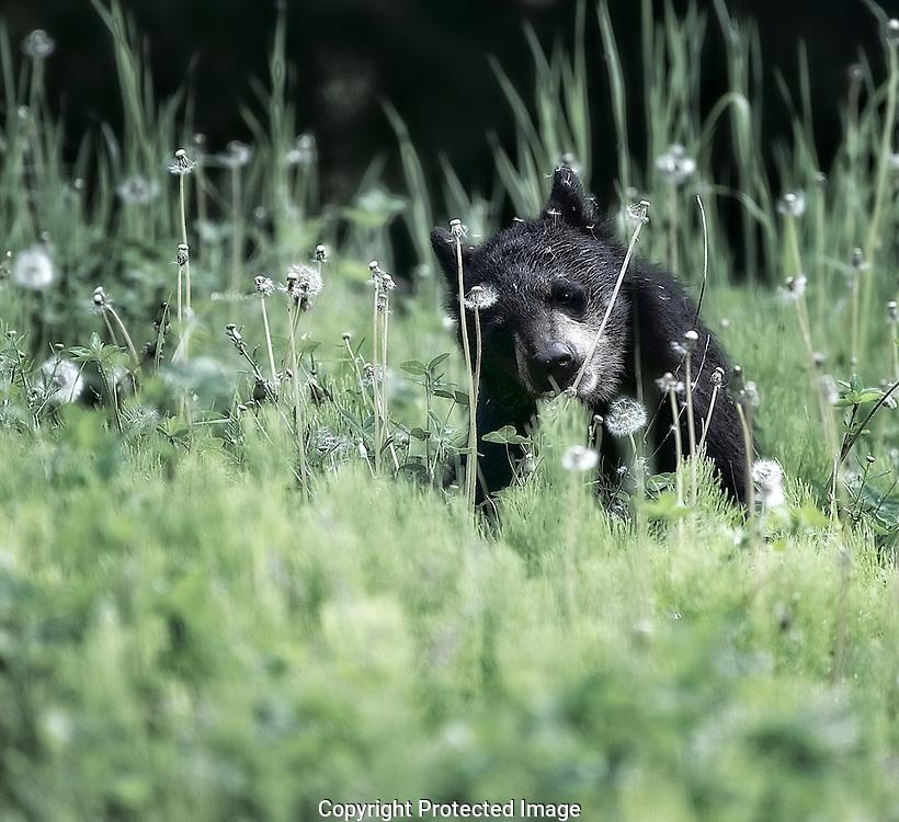 Black Bear cub. (Ursus americanus), British Columbia, canada, Isobel Springett