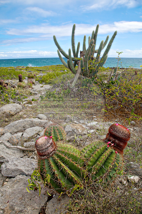Squat melon cactus and Spanish dildo cactus growing along the arid coast of the Bosque Estatal de Guanica forest reserve in Puerto Rico considered the best example of dry forest in the Caribbean.