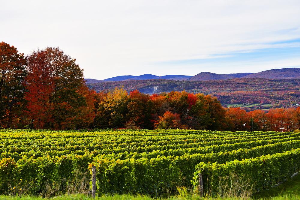 Vineyard on the hillsides of the island of Orléans. Vignes sur les coteaux de l'ile d'Orléans.