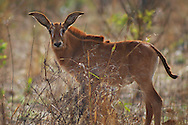 roan antelope, Hippotragus equinus, antilope rouanne, antilope cheval , 马羚, ظبي أسمر