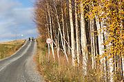 Bjørketrær med gult løv om høsten. Birch trees with yellow leaves int the autumn.