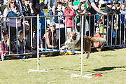 Border Collie Fun Day, Sydney, Australia-6 Jul 2014 Celebrity Vet Dr Katrina is one of the event organisers and funds raised from the day will go to border collie cancer research at Sydney University.
