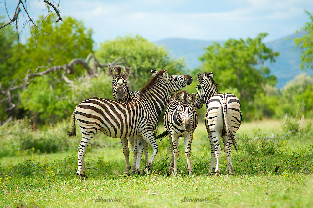 Zebra (Equus sp.) Waterberg, South Africa