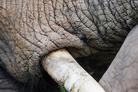 African Elephant tusk,, Addo Elephant National Park, Eastern Cape, South Africa