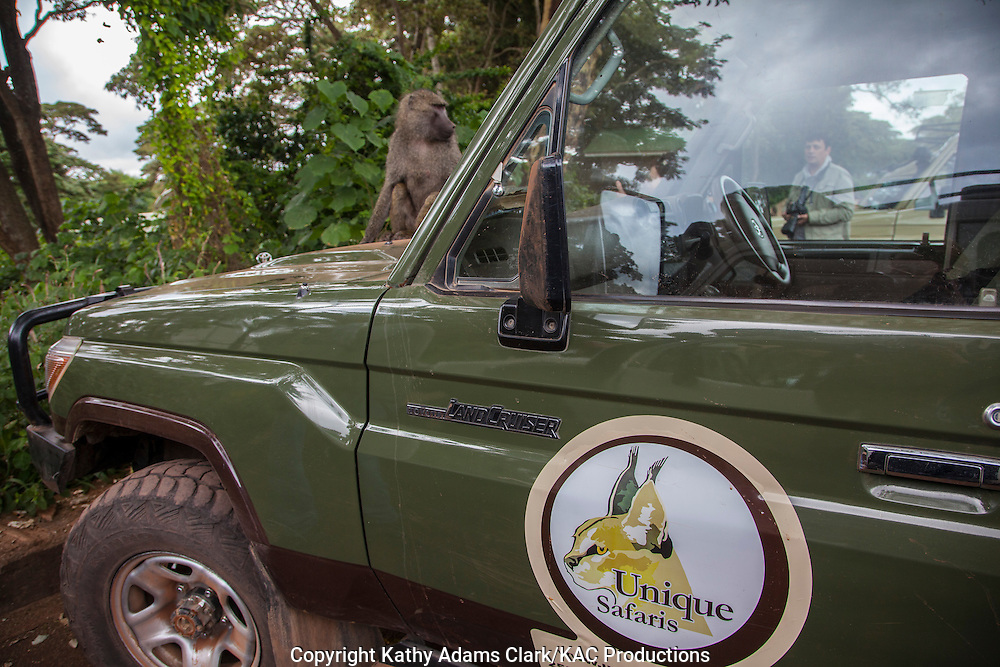 Unique Safari Toyota Land Cruiser, with an olive baboon sitting on the hood, Tanzania, Africa.
