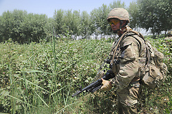 © licensed to London News Pictures.  22/08/2011 . Operation Zangal Haf, in the Helmand region of Afghanistan. During the operation the police seized a quantity of home made explosives from a compound.  Pictured - Rifleman Daniel Meally (24) patrols through a cotton field as he takes part in a joint heli assault with the Afghan Uniformed Police. Photo credit Sergeant Alison Baskerville/LNP