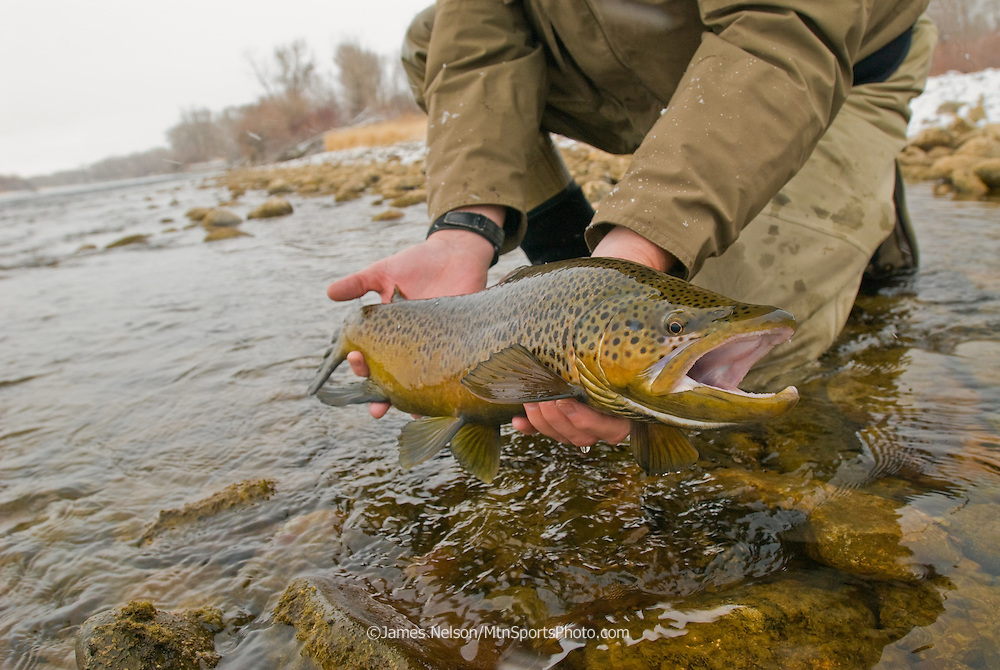 A fly fisherman releases a large brown trout caught in late autumn on the South Fork of the Snake River, Idaho.
