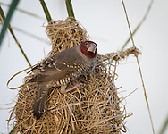 A male red-headed finch perches on a nest, Windhoek, Namibia.