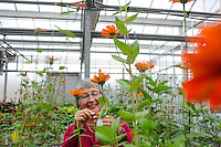 Dr. Julia Kornegay is a Professor and Director of the Graduate Programs in the Department of Horticultural Science. Here she works in the greenhouse with plants. Photo by Marc Hall