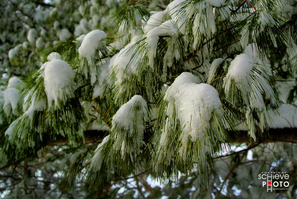 Fresh snow on pine tree branches.