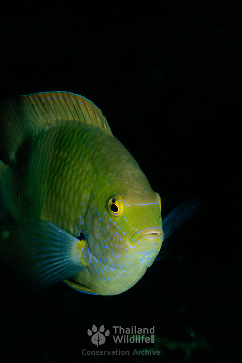 Blackspot Tuskfish Chaoerodon schoenleinii at Lembeh Straits, Indonesia.