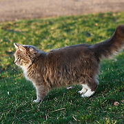 Thick-coated cat with luxurious tail standing in profile on grass