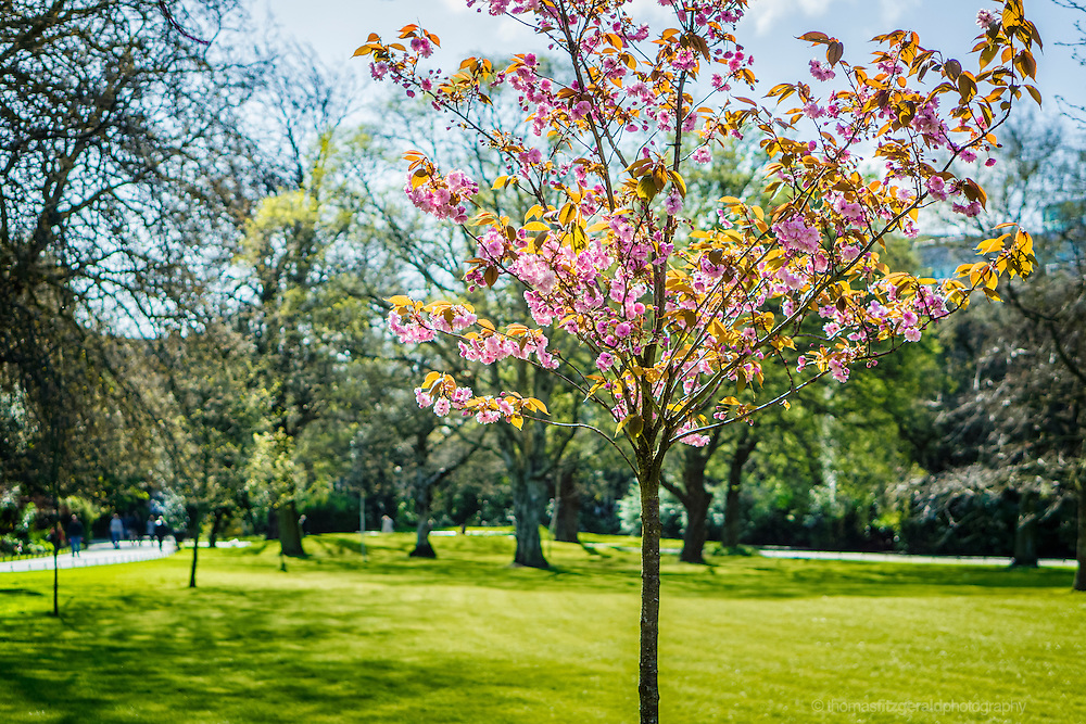 Dublin, Ireland, 2014: A Young Cherry Tree begins to bloom in the spring sunshine. Taken in Dublin's St. Stephen's Green park. The delicate pink cherry blossom flowers are blooming on this small and delicate cherry tree
