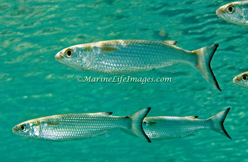 White Mullet inhabit areas of sand, seagrass, algae and soft bottoms in Tropiical West Atlantic; picture taken Bonaire.
