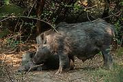 Indian boar (Sus scrofa cristatus)<br /> Bharatpur National Park <br /> Rajasthan, India<br /> Subspecies native to India, Nepal, Burma, Thailand and Sri Lanka
