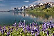 """Lupine, Jackson Lake, Grand Tetons, Grand Teton National Park<br /> <br /> For production prints or stock photos click the Purchase Print/License Photo Button in upper Right; for Fine Art """"Custom Prints"""" contact Daryl - 208-709-3250 or dh@greater-yellowstone.com"""