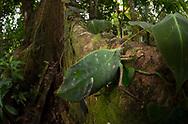 Leaf mimic katydid, Cocobolo Nature Reserve, Panama
