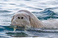 Male walrus, Odobenus rosmarus in the water at Lågøya in the Svalbard archipelago, Norway.